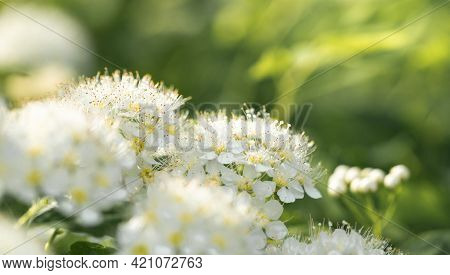 Spring Banner With Blooming Rowan Bush White Flowers Close-up On Blurry Natural Green Background.