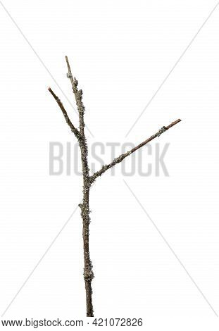 Lichen Overgrown Dry Branch Isolated On White Background.