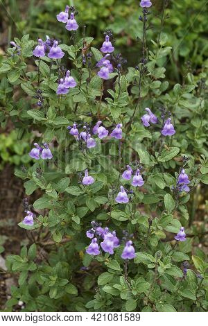 Baby Sage (salvia Microphylla). Called Graham's Sage And Blackcurrant Sage Also.
