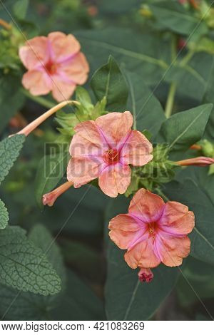 Marvel Of Peru (mirabilis Jalapa). Called Four O'clock Flower Also