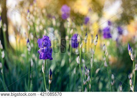 Purple Irises In A Spring Garden (focus On Flower, Bokeh Background) Impressionist Style Photo