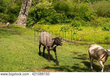 Beautiful Idyllic Green Pastoral Image Of A Freshly Shorn Black Sheep With Her Flock. Natural Light