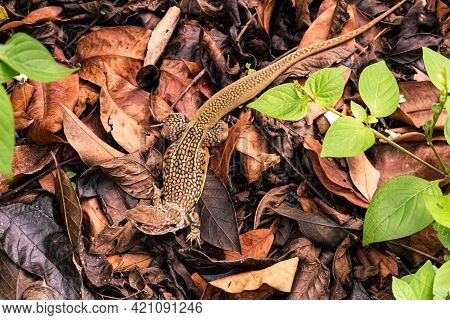 Top View Of Butterfly Lizard Or Leiolepis Belliana Or Small-scaled Lizards Or Ground Lizards Or Butt