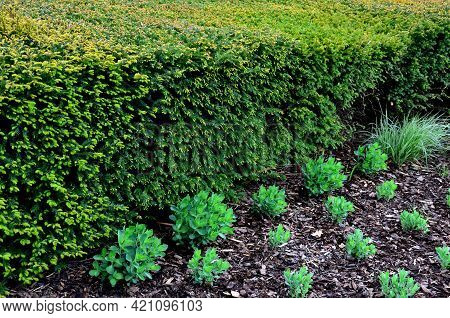 Is An Evergreen Conifer Suitable For Both Low And High Hedges. It Also Tolerates More Significant Sh