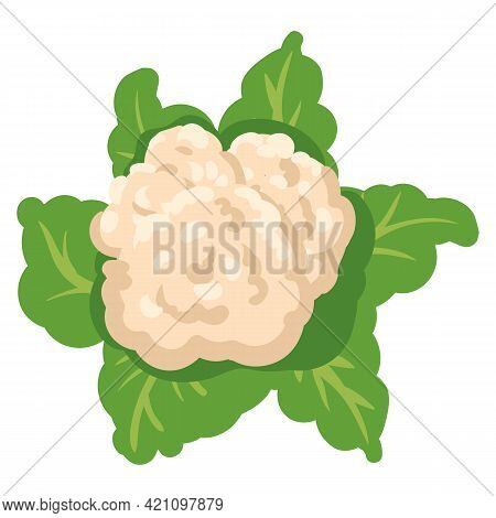 Cauliflower With Green Leaves, Healthy Nutrition Organic Product. Vector Hand Cartoon Draw Flat Tren
