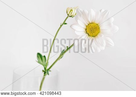 A Delicate Chamomile Flower In Soft Focus.