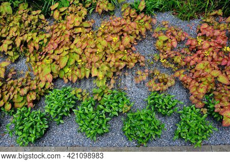 Cinnamon Sticks Are Perennials Belonging To The Family Barberry. The Variegated Cinnamon Is A Little