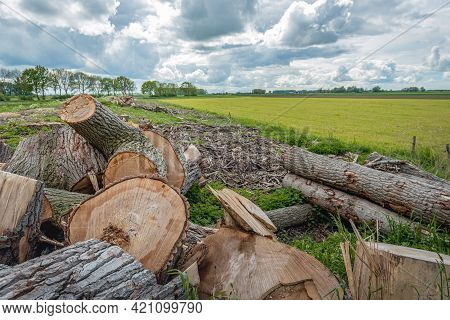Logs And Tree Trunks After Felling A Long Row Of Tall Poplar Trees In A Dutch Landscape.