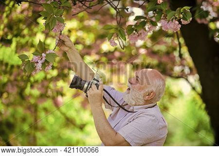 Look At That. Branch With Pink Blossoms. Senior Bearded Man Photographing. Professional Photographer