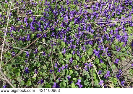 A Lot Of Purple Flowers Of Dog Violets In March