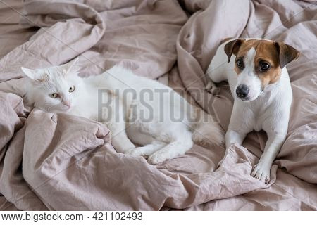 White Fluffy Cat And Dog Jack Russell Terrier Lie In Bed. Love Between Pets.