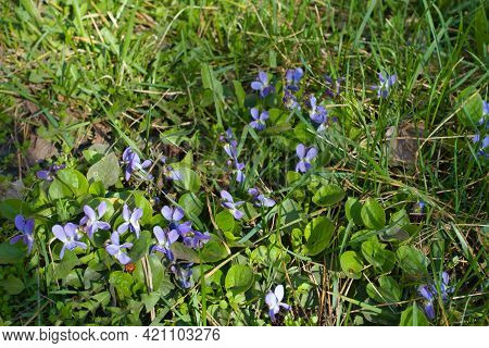 Light Purple Flowers Of Dog Violets In Mid March