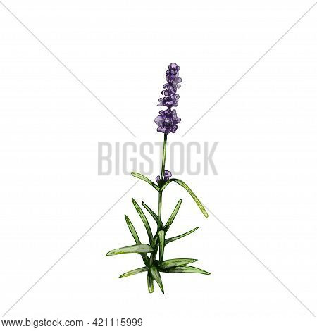 Lavender Flower. Vintage Hatching Vector Color Illustration. Isolated On White Background. Hand Draw