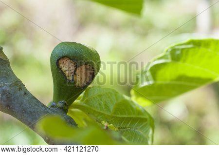 Fig Fruit Damaged By Black Fig Weevil