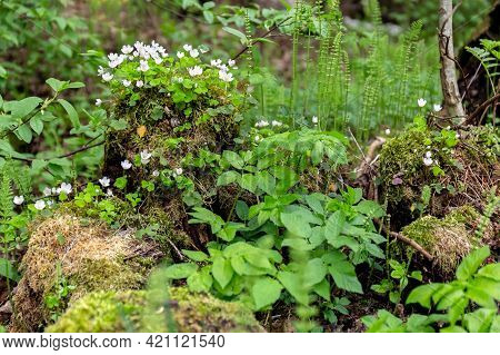 White Forest Flowers Grow On An Old Mossy Tree Stump. Forest Plants.