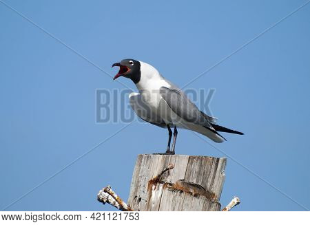 The Close View Of A Screaming Seagull On A Wooden Pole On Grand Bahama Island.