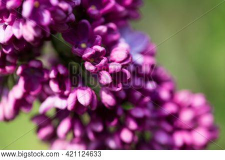Lilac Flowers. Beautiful Spring Background Of Flowering Lilac. Selective Soft Focus, Shallow Depth O