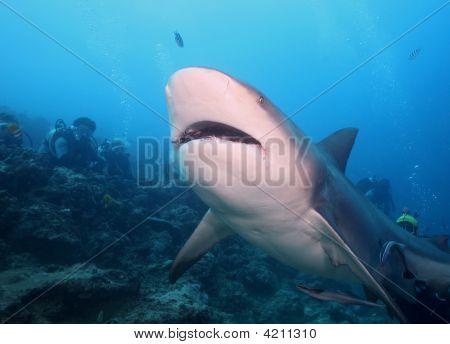 Bull Shark (zambezi)