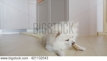 Pomeranian dog chewing treat for clean teeth and healthy gums