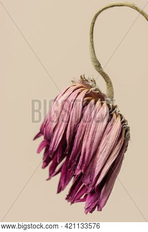 Dried pink gerbera flower on a brown background