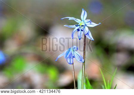 Nice blue wild flowers at spring - scilla bifolia