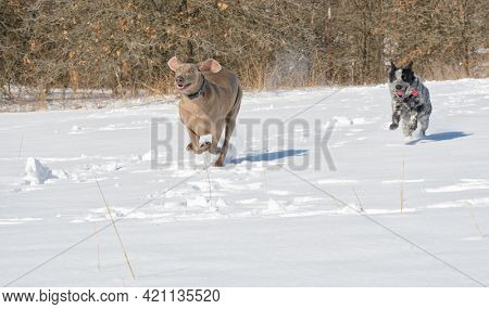Goofy looking Weimaraner running through a snowy field, with his little spotted friend following