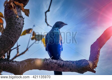 the glossy starling is commonly found all over southern Africa