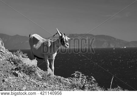 A Goat On Top Of A Rock By The Sea On Kos Island In Greece, Monochrome
