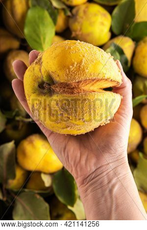 Close-up Of Large Damaged Ugly Yellow Quince Apple In Hand Of Caucasian Woman. Large Group Of Organi