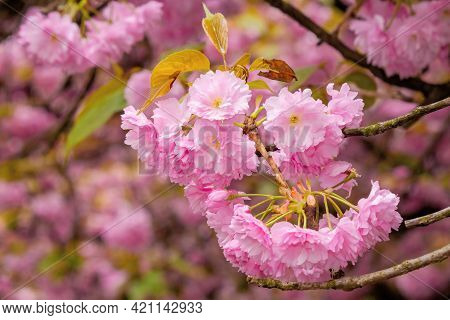 Blooming Pink Flowers Of Sakura In Ukraine. Cherry Blossom Season In Springtime. Close Up Floral Bac