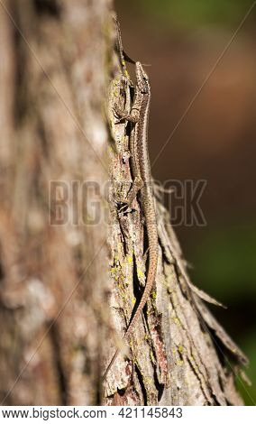 Well Camouflaged Reptile On A Tree Trunk. The Madeiran Wall Lizard (teira Dugesii) Is An Endemic Spe