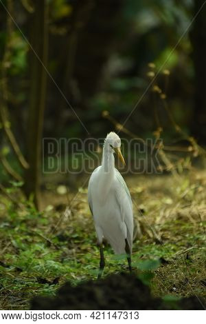 Egrets (white Egrets Birds) That Live Freely In Nature. Mainly In India.