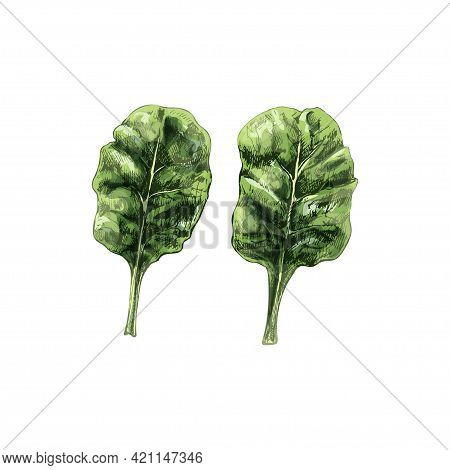Collard Green Fresh Branches With Leaves. Vintage Vector Hatching Color Hand Drawn Illustration Isol