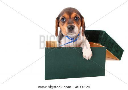 Beagle Puppy In A Box