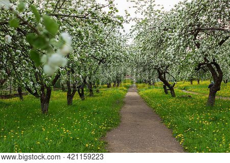Alley Of Flowering Apple Trees And Yellow Dandelions In The Spring Garden