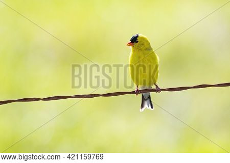 Horizontal Shot Of A Yellow Bird Perched On A Wire With Copy Space.
