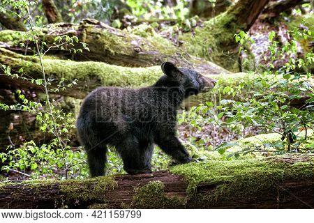 Horizontal Shot Of A Young Smoky Mountains Black Bear In Springtime.