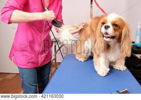 A Groomer Combs The Mosquito Tail Of A King Charles Spaniel In A Grooming Salon. The Concept Of Anim