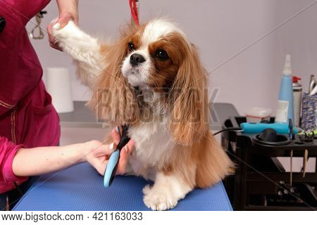 Cavalier King Charles Spaniel On The Grooming Table At The Dog Beauty Salon. A Female Groomer Scratc