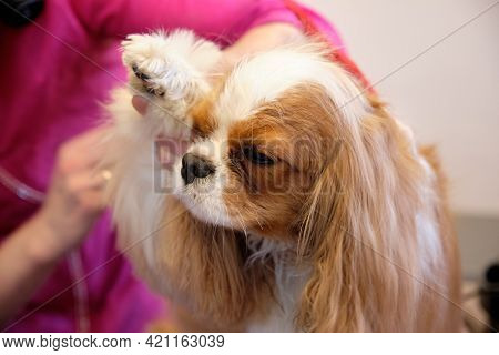 Cavalier King Charles Spaniel On Grooming Procedures In The Salon Waiting For Animals