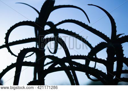 Aloe Figure. Outline Of Aloe Flower Close-up. Black Shadow From A Flower. Aloe On A Light Background