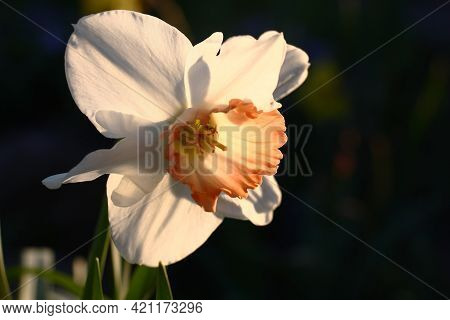 Solar Spring Evening. A Beautiful Single Flower Of A Narcissus With A Pink Crown Against A Dark Back