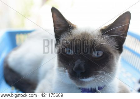 Portrait Of Beautiful Cat With Gray Spots.