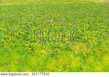 Spring Wild Flower Field In Nature, Red Fritillaria Montana With Yellow Marsh Marigold On Meadow As