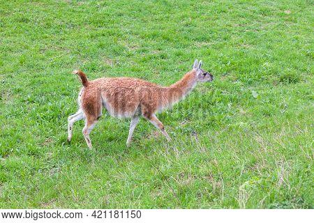 Guanaco Walking On Green Grass