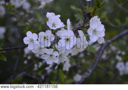 Close-up Of Sour Cherry (prunus Cerasus) Blossoms In Spring