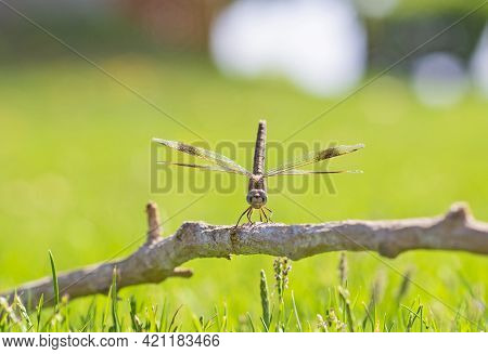 Closeup Macro Detail Of Wandering Glider Dragonfly Pantala Flavescens On Wooden Twig Branch Above Gr