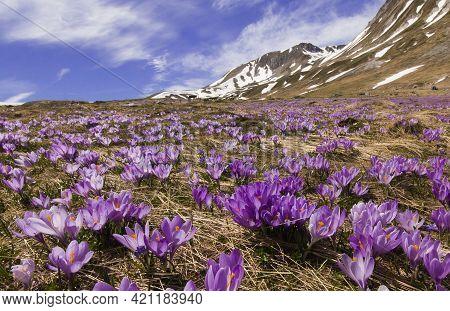 Spring Wonderland With Crocus Vernus Flowering In The Italian Mountain
