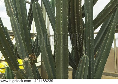 Close Up Of Cereus Validus Haworth Cactus In A Green House.