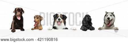Group Of Five Different Purebred Dogs Sitting Isolated Over White Studio Background. Collage